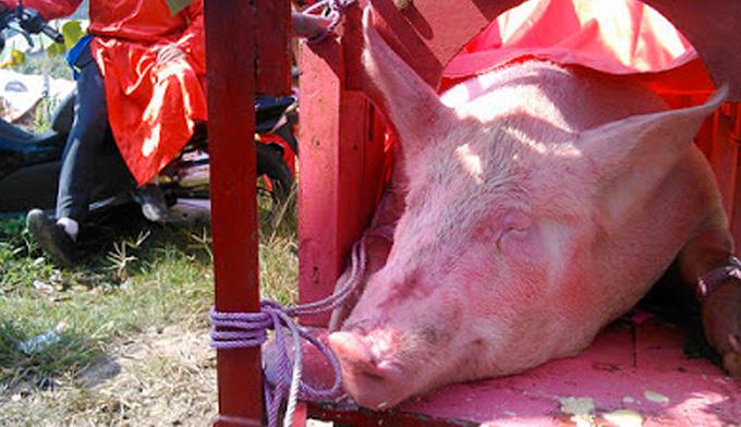 abattage et decoupe du porc