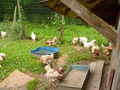 sauvetage 200 poules, Gaec du Perrat, Clic Animaux