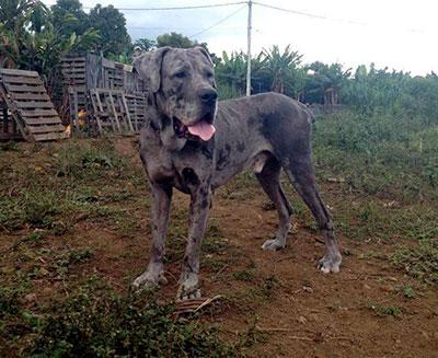 Mr Patate, chiens de la réunion sauvé par l'association ASSEZ et Clic Animaux