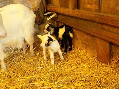 Chèvres Ecuries du Dernier Recours