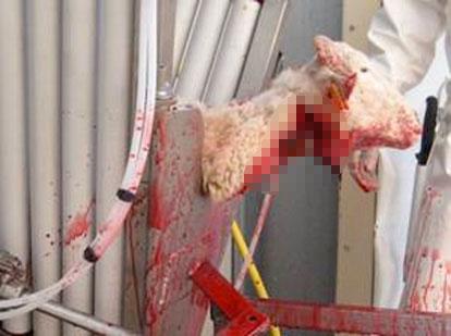 WELFARM œuvre pour l'amélioration des conditions d'abattage des animaux d'élevage